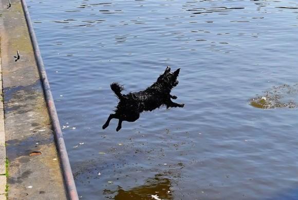 Insegue il gabbiano e finisce in mare: quattro zampe maldestro soccorso dal suo umano