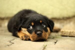rottweiler-cucciolo