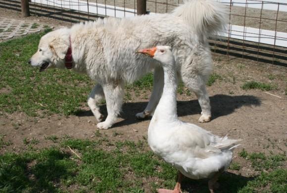 L'amicizia mette le ali: il cane Gwen e l'oca Mario, il cuore oltre la specie
