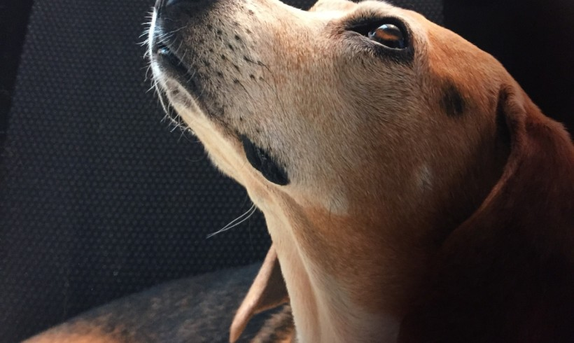 Beagle prigioniero di una cantina senza cibo né acqua: due denunciati